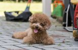 toy-poodle-large-shutterstock-525256504-copy.jpg